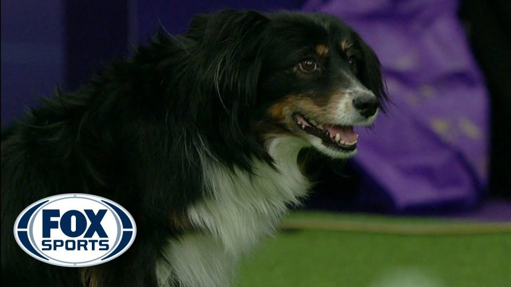 Check out the best of the 2019 WKC Masters Agility Championship   FOX SPORTS