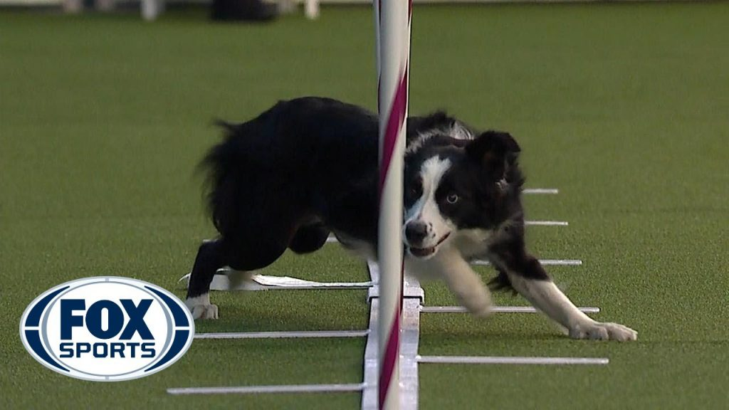Best of the Agility competition from the 2020 Westminster Kennel Club Dog show | FOX SPORTS